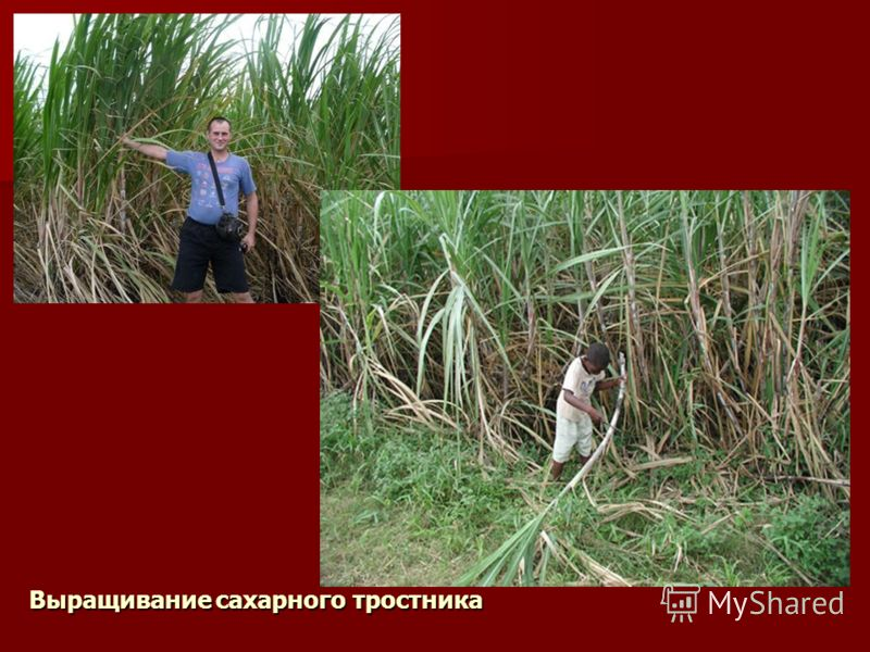 Выращивание сахарного тростника