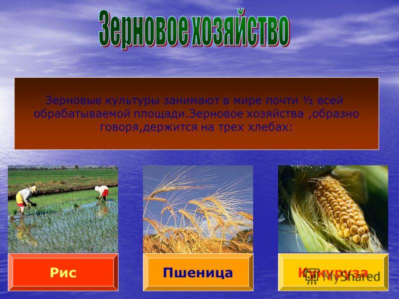 Пшеница РисКукуруза Зерновые культуры занимают в мире почти ½ всей обрабатываемой площади.Зерновое хозяйства,образно говоря,держится на трех хлебах: