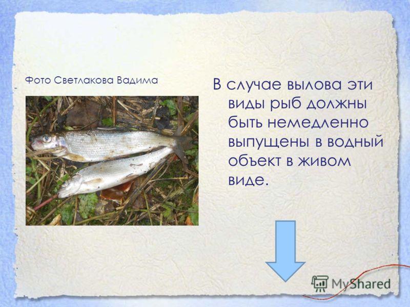 Фото Светлакова Вадима В случае вылова эти виды рыб должны быть немедленно выпущены в водный объект в живом виде.