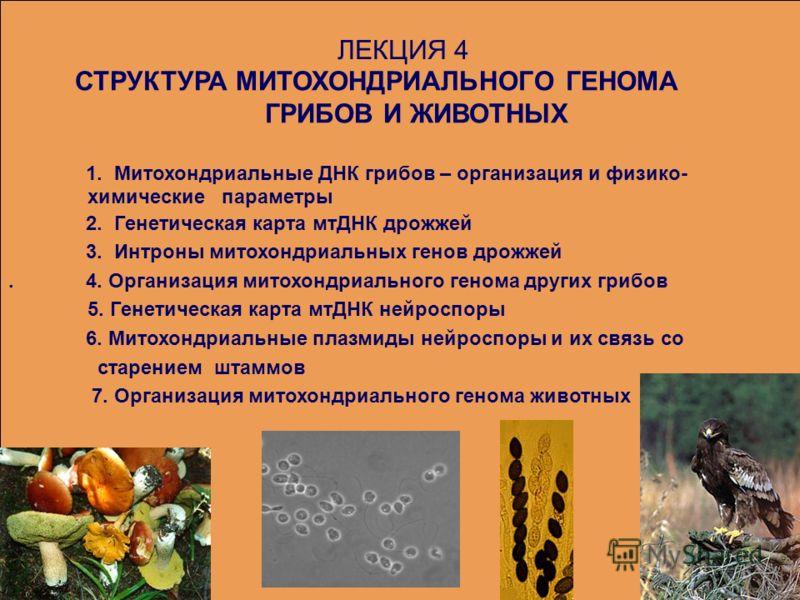 ЛЕКЦИЯ 4 СТРУКТУРА МИТОХОНДРИАЛЬНОГО ГЕНОМА ГРИБОВ И ЖИВОТНЫХ 1. Митохондриальные ДНК грибов – организация и физико- химические параметры 2. Генетическая карта мтДНК дрожжей 3. Интроны митохондриальных генов дрожжей. 4. Организация митохондриального