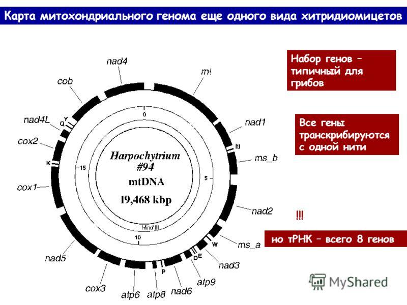 Набор генов – типичный для грибов Все гены транскрибируются с одной нити но тРНК – всего 8 генов Карта митохондриального генома еще одного вида хитридиомицетов !!!