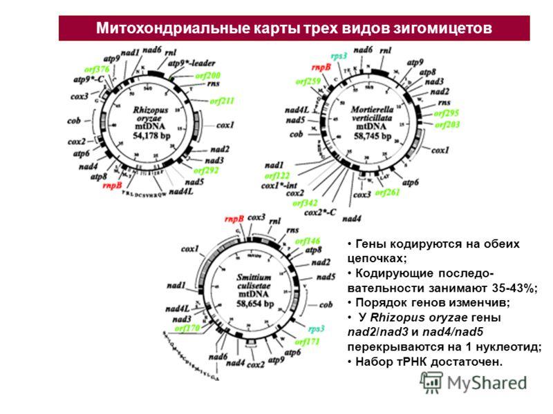 Митохондриальные карты трех видов зигомицетов Гены кодируются на обеих цепочках; Кодирующие последо- вательности занимают 35-43%; Порядок генов изменчив; У Rhizopus oryzae гены nad2/nad3 и nad4/nad5 перекрываются на 1 нуклеотид; Набор тРНК достаточен