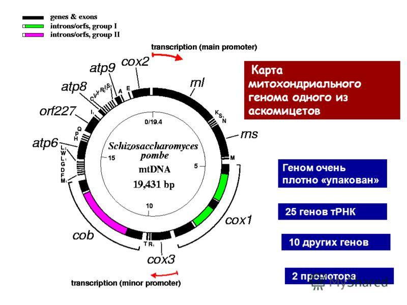 Геном очень плотно «упакован» 25 генов тРНК 10 других генов 2 промотора Карта митохондриального генома одного из аскомицетов
