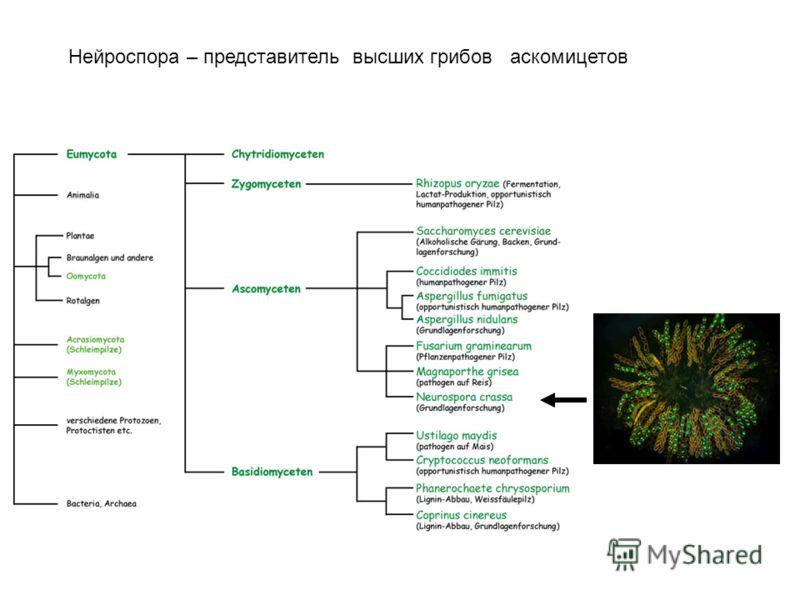 Нейроспора – представитель высших грибов аскомицетов