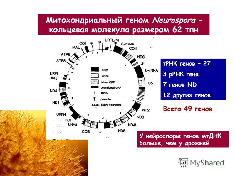 Митохондриальный геном Neurospora – кольцевая молекула размером 62 тпн тРНК генов – 27 3 рРНК гена 7 генов ND 12 других генов У нейроспоры генов мтДНК больше, чем у дрожжей Всего 49 генов
