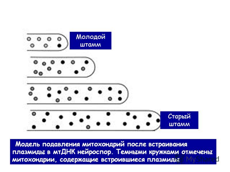 Модель подавления митохондрий после встраивания плазмиды в мтДНК нейроспор. Темными кружками отмечены митохондрии, содержащие встроившиеся плазмиды Молодой штамм Старый штамм