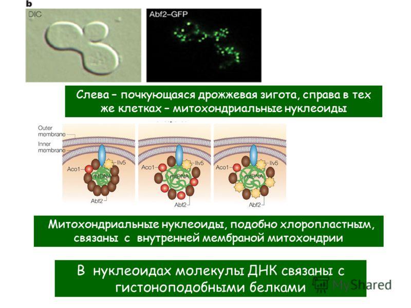 Слева – почкующаяся дрожжевая зигота, справа в тех же клетках – митохондриальные нуклеоиды Митохондриальные нуклеоиды, подобно хлоропластным, связаны с внутренней мембраной митохондрии В нуклеоидах молекулы ДНК связаны с гистоноподобными белками