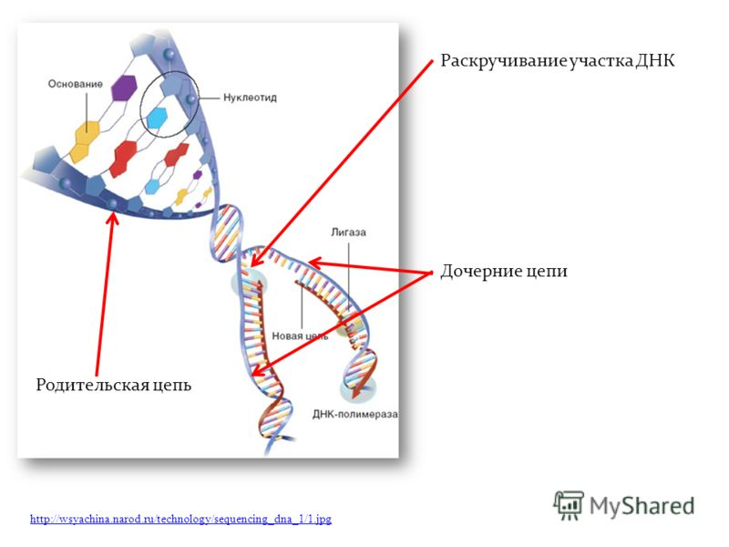 http://wsyachina.narod.ru/technology/sequencing_dna_1/1.jpg Раскручивание участка ДНК Родительская цепь Дочерние цепи
