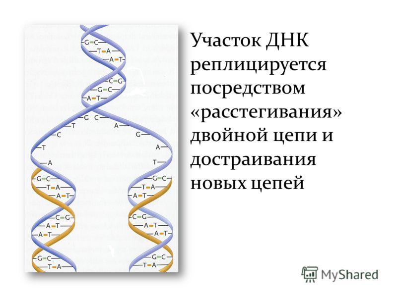 Участок ДНК реплицируется посредством «расстегивания» двойной цепи и достраивания новых цепей