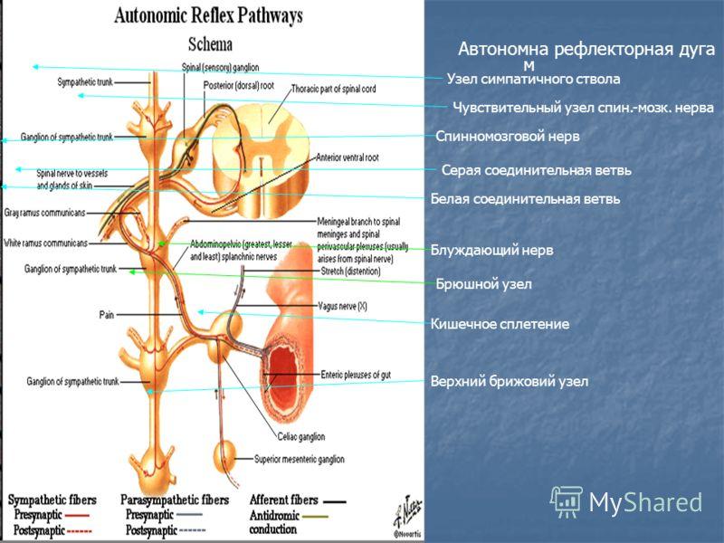 Автономна рефлекторная дуга м Узел симпатичного ствола Чувствительный узел спин.-мозк. нерва Серая соединительная ветвь Белая соединительная ветвь Спинномозговой нерв Брюшной узел Верхний брижовий узел Кишечное сплетение Блуждающий нерв