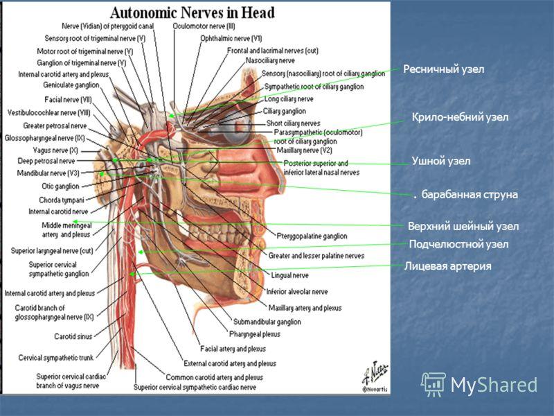 Ресничный узел Крило-небний узел Ушной узел. барабанная струна Верхний шейный узел Лицевая артерия Подчелюстной узел