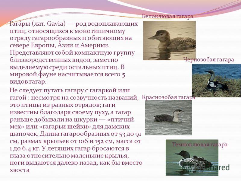 Гага́ры (лат. Gavia) род водоплавающих птиц, относящихся к монотипичному отряду гагарообразных и обитающих на севере Европы, Азии и Америки. Представляют собой компактную группу близкородственных видов, заметно выделяемую среди остальных птиц. В миро