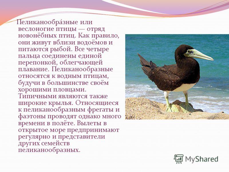Пеликанообра́зные или веслоногие птицы отряд новонёбных птиц. Как правило, они живут вблизи водоёмов и питаются рыбой. Все четыре пальца соединены единой перепонкой, облегчающей плавание. Пеликанообразные относятся к водным птицам, будучи в большинст