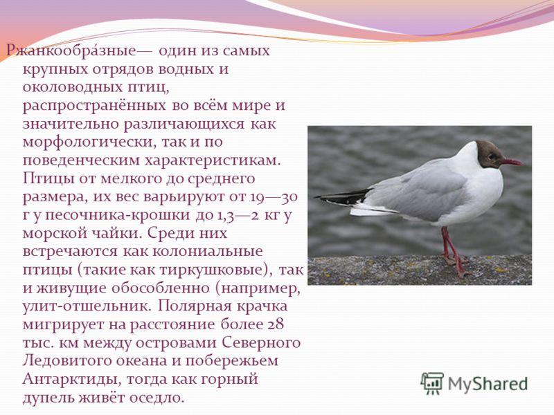 Ржанкообра́зные один из самых крупных отрядов водных и околоводных птиц, распространённых во всём мире и значительно различающихся как морфологически, так и по поведенческим характеристикам. Птицы от мелкого до среднего размера, их вес варьируют от 1