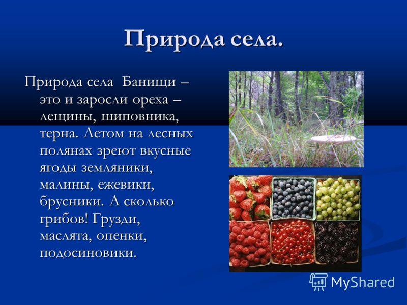 Природа села. Природа села Банищи – это и заросли ореха – лещины, шиповника, терна. Летом на лесных полянах зреют вкусные ягоды земляники, малины, ежевики, брусники. А сколько грибов! Грузди, маслята, опенки, подосиновики.