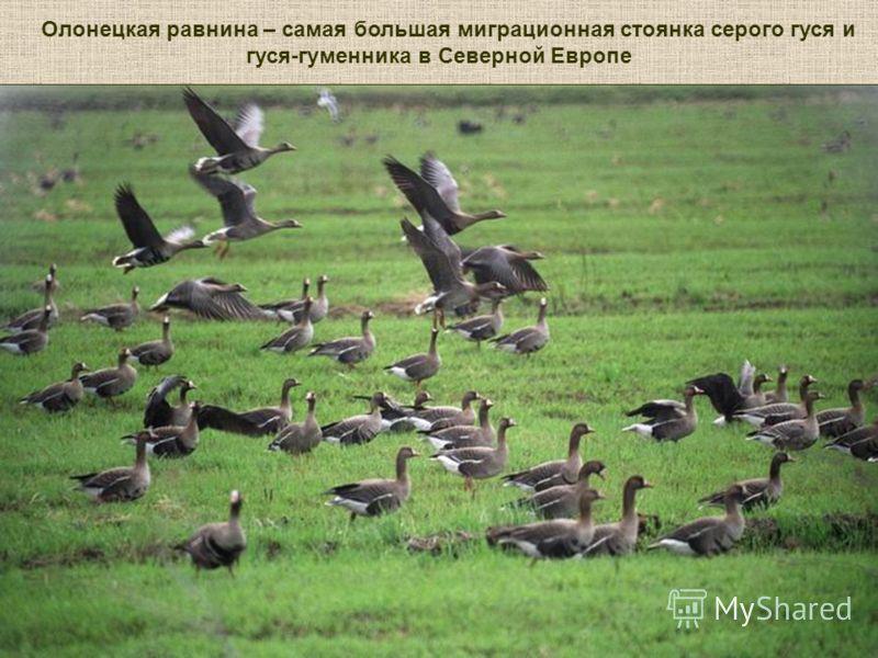 Олонецкая равнина – самая большая миграционная стоянка серого гуся и гуся-гуменника в Северной Европе