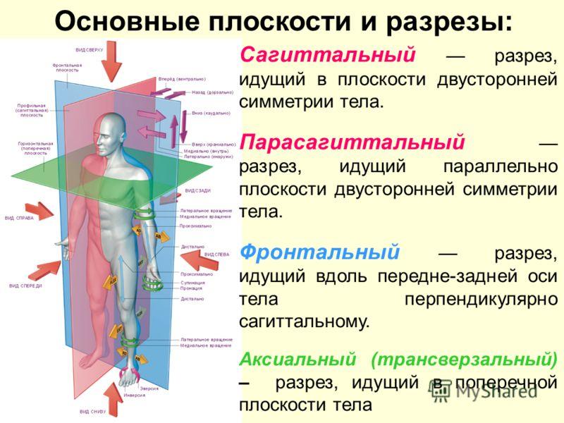 Сагиттальный разрез, идущий в плоскости двусторонней симметрии тела. Парасагиттальный разрез, идущий параллельно плоскости двусторонней симметрии тела. Фронтальный разрез, идущий вдоль передне-задней оси тела перпендикулярно сагиттальному. Аксиальный