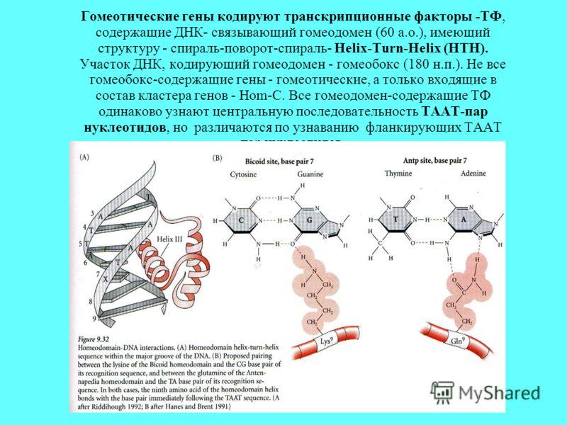 Гомеотические гены кодируют транскрипционные факторы -ТФ, содержащие ДНК- связывающий гомеодомен (60 а.о.), имеющий структуру - спираль-поворот-спираль- Helix-Turn-Helix (HTH). Участок ДНК, кодирующий гомеодомен - гомеобокс (180 н.п.). Не все гомеобо
