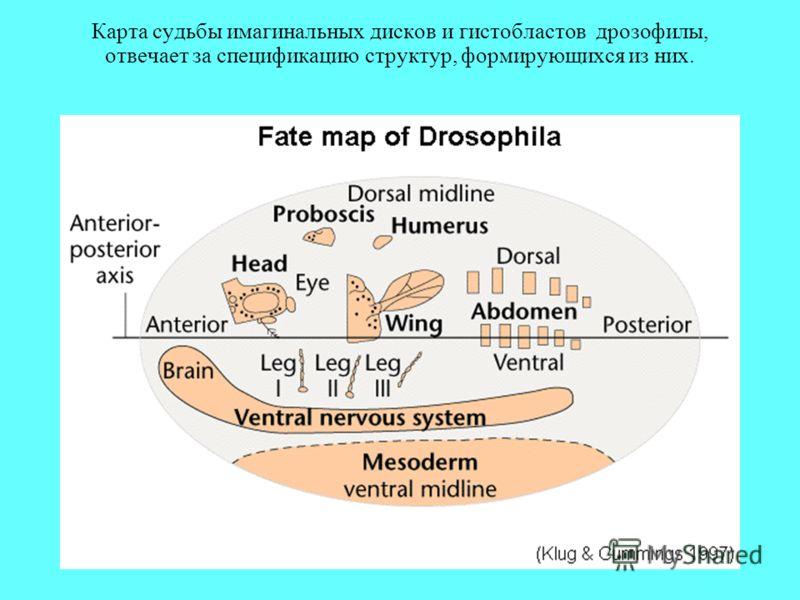 Карта судьбы имагинальных дисков и гистобластов дрозофилы, отвечает за спецификацию структур, формирующихся из них.