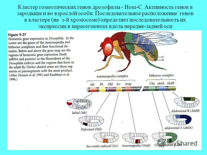 Кластер гомеотических генов дрозофилы - Hom-C. Активность генов в зародыше и во взрослой особи. Последовательное расположение генов в кластере (на з-й хромосоме) определяет последовательность их экспрессии в парасегментах вдоль передне-задней оси