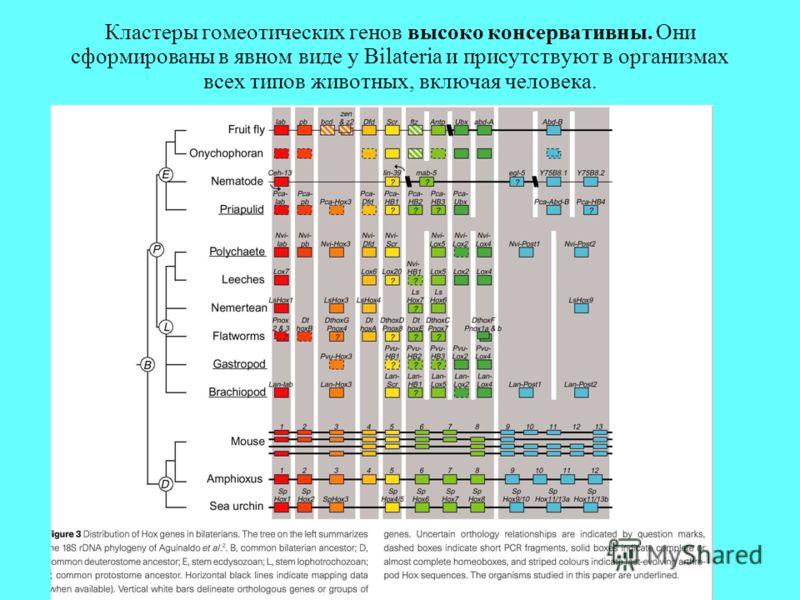 Кластеры гомеотических генов высоко консервативны. Они сформированы в явном виде у Bilateria и присутствуют в организмах всех типов животных, включая человека.