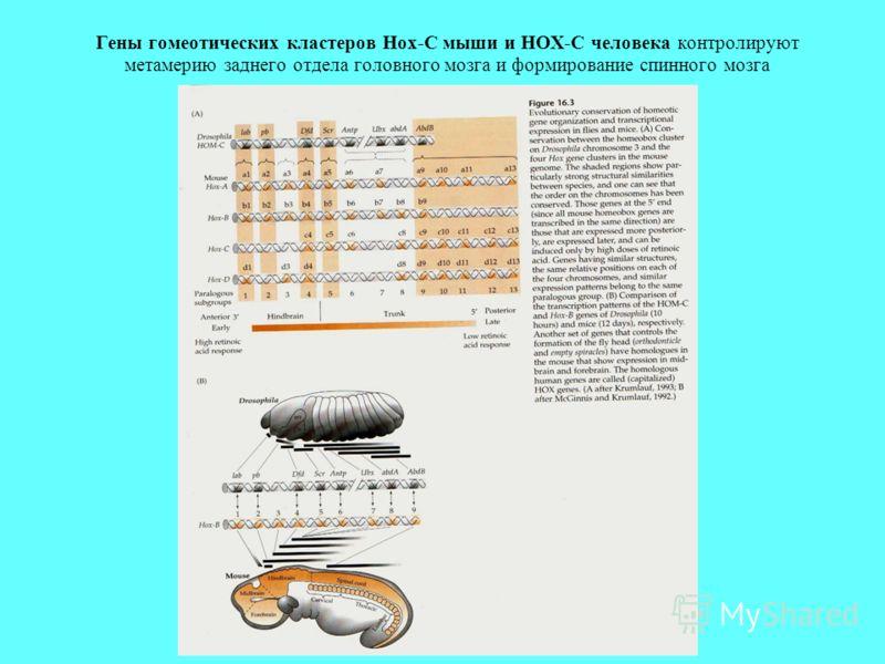 Гены гомеотических кластеров Hox-C мыши и HOX-C человека контролируют метамерию заднего отдела головного мозга и формирование спинного мозга