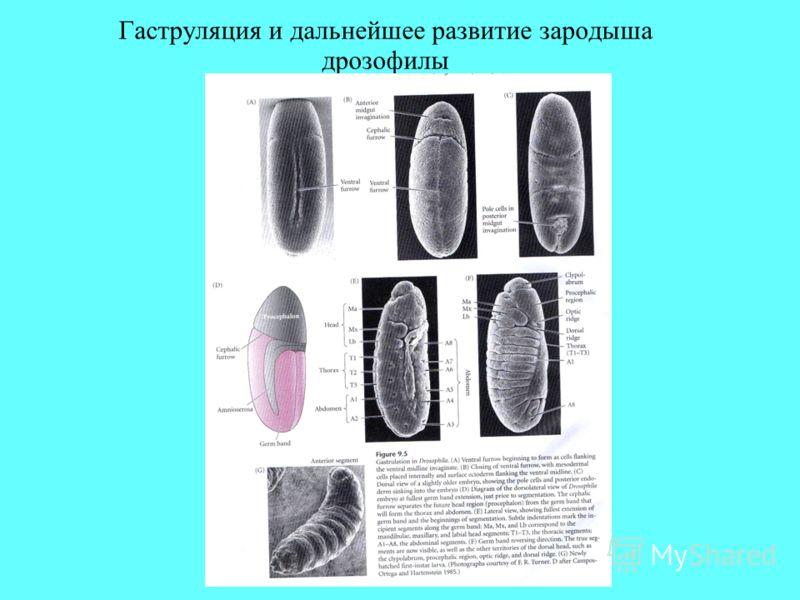Гаструляция и дальнейшее развитие зародыша дрозофилы