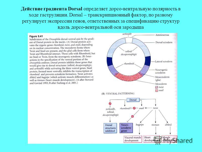 Действие градиента Dorsal определяет дорсо-вентральную полярность в ходе гаструляции. Dorsal – транскрипционный фактор, по разному регулирует экспрессии генов, ответственных за спецификацию структур вдоль дорсо-вентральной оси зародыша