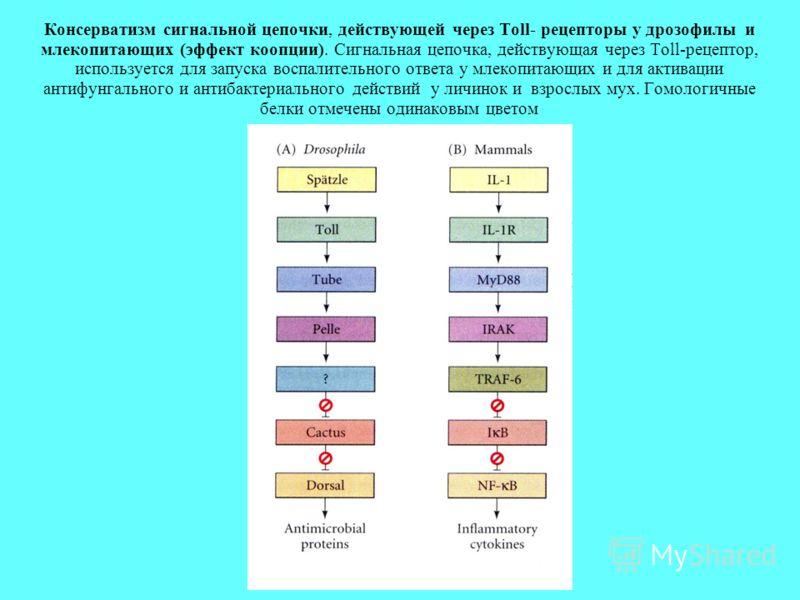 Консерватизм сигнальной цепочки, действующей через Toll- рецепторы у дрозофилы и млекопитающих (эффект коопции). Сигнальная цепочка, действующая через Toll-рецептор, используется для запуска воспалительного ответа у млекопитающих и для активации анти