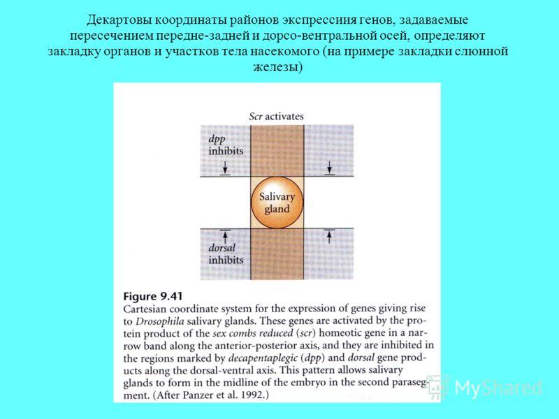 Декартовы координаты районов экспрессиия генов, задаваемые пересечением передне-задней и дорсо-вентральной осей, определяют закладку органов и участков тела насекомого (на примере закладки слюнной железы)