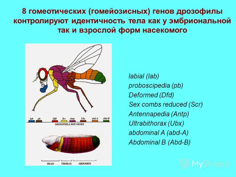 8 гомеотических (гомейозисных) генов дрозофилы контролируют идентичность тела как у эмбриональной так и взрослой форм насекомого labial (lab) proboscipedia (pb) Deformed (Dfd) Sex combs reduced (Scr) Antennapedia (Antp) Ultrabithorax (Ubx) abdominal