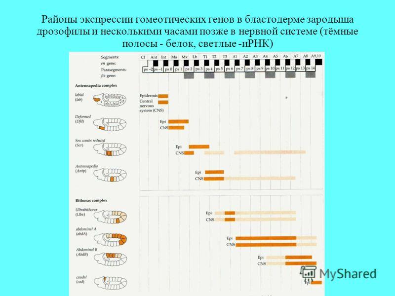 Районы экспрессии гомеотических генов в бластодерме зародыша дрозофилы и несколькими часами позже в нервной системе (тёмные полосы - белок, светлые -иРНК)