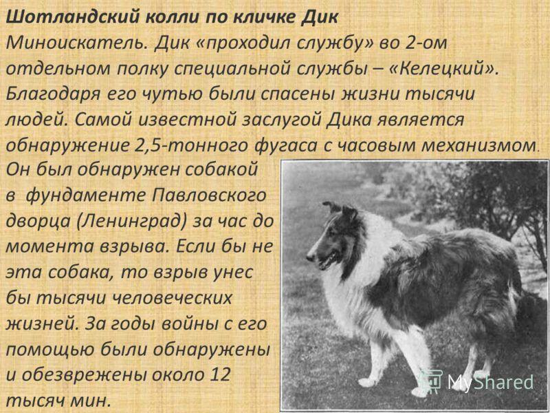 Он был обнаружен собакой в фундаменте Павловского дворца (Ленинград) за час до момента взрыва. Если бы не эта собака, то взрыв унес бы тысячи человеческих жизней. За годы войны с его помощью были обнаружены и обезврежены около 12 тысяч мин. Шотландск