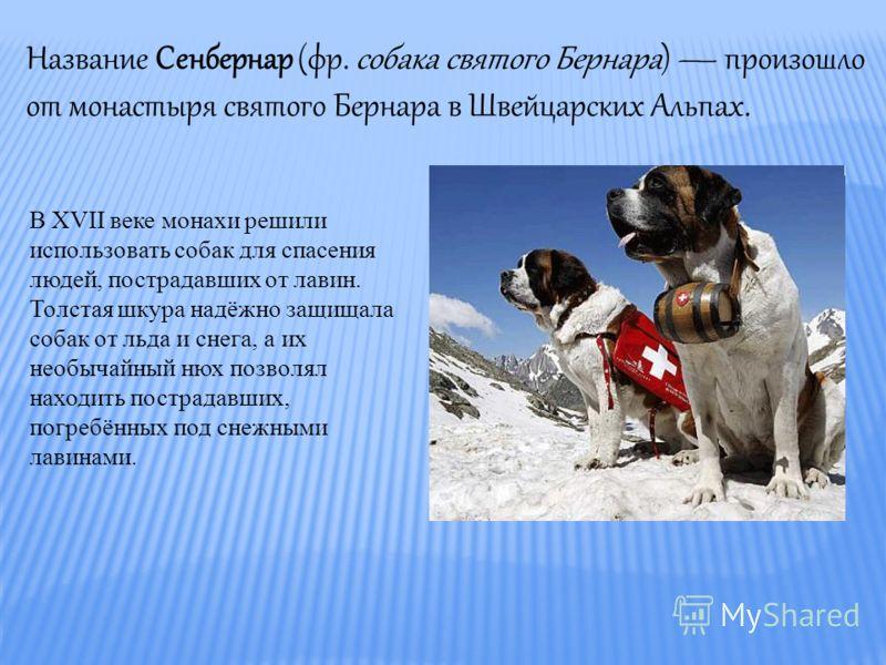 Название Сенбернар (фр. собака святого Бернара) произошло от монастыря святого Бернара в Швейцарских Альпах. В XVII веке монахи решили использовать собак для спасения людей, пострадавших от лавин. Толстая шкура надёжно защищала собак от льда и снега,