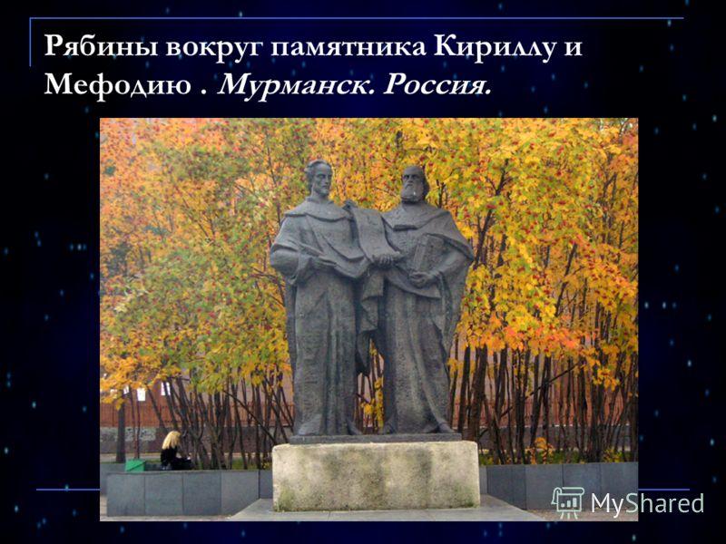 Рябины вокруг памятника Кириллу и Мефодию. Мурманск. Россия.