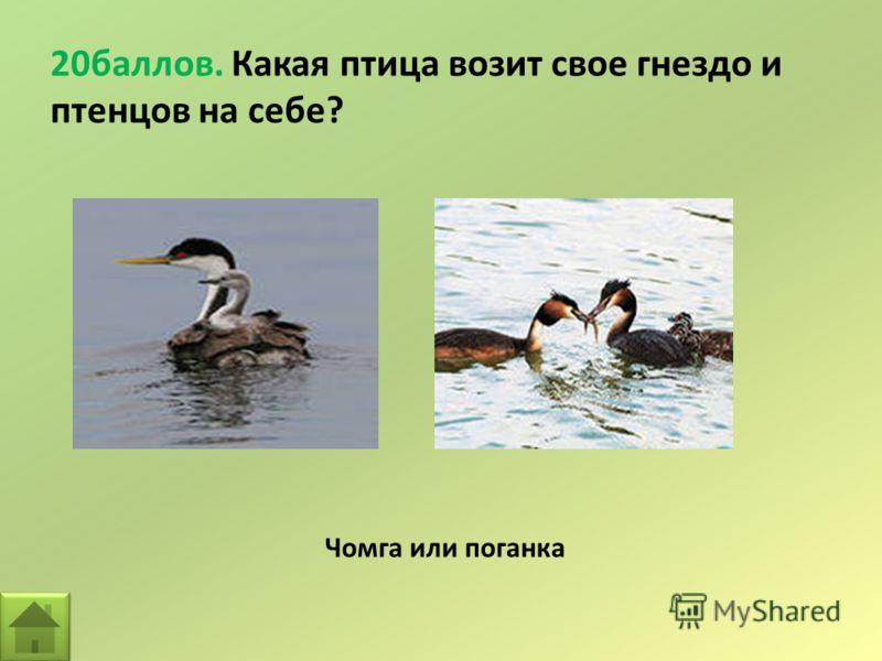 20баллов. Какая птица возит свое гнездо и птенцов на себе? Чомга или поганка