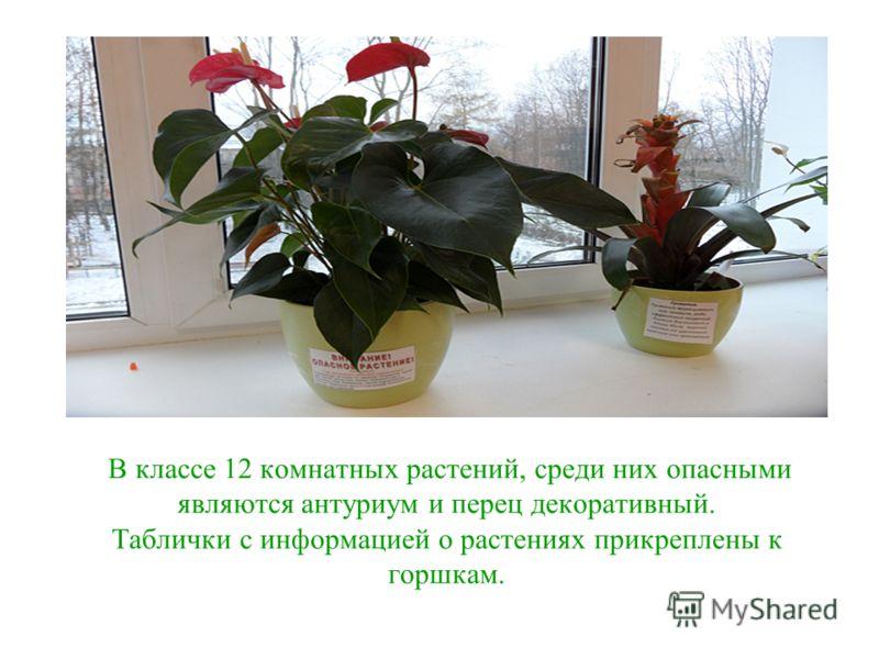 В классе 12 комнатных растений, среди них опасными являются антуриум и перец декоративный. Таблички с информацией о растениях прикреплены к горшкам.