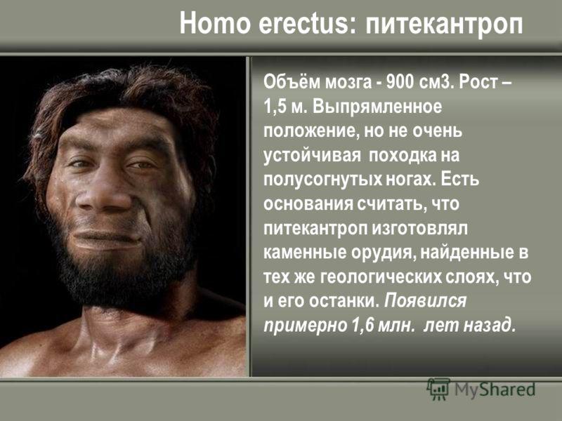 Homo erectus: питекантроп Объём мозга - 900 см3. Рост – 1,5 м. Выпрямленное положение, но не очень устойчивая походка на полусогнутых ногах. Есть основания считать, что питекантроп изготовлял каменные орудия, найденные в тех же геологических слоях, ч