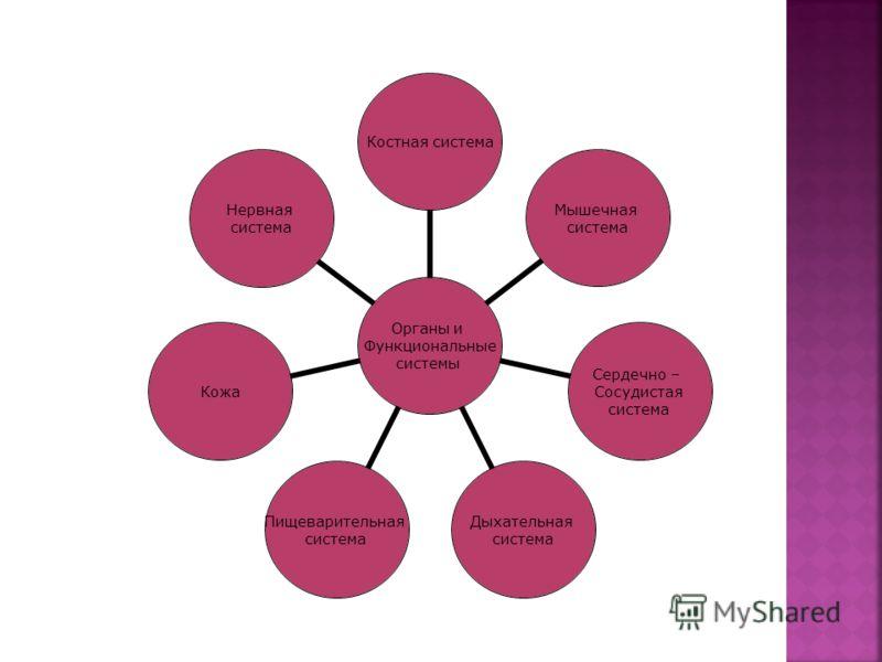 Органы и Функциональные системы Костная система Мышечная система Сердечно – Сосудистая система Дыхательная система Пищеварительная система Кожа Нервная система