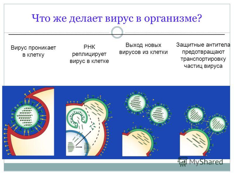 Вирус проникает в клетку Защитные антитела предотвращают транспортировку частиц вируса Выход новых вирусов из клетки РНК реплицирует вирус в клетке Что же делает вирус в организме?