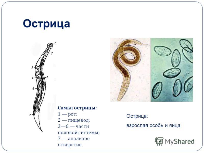 паразиты в человеческом организме