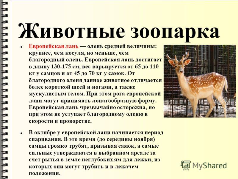 Животные зоопарка Европейская лань олень средней величины: крупнее, чем косуля, но меньше, чем благородный олень. Европейская лань достигает в длину 130-175 см, вес варьируется от 65 до 110 кг у самцов и от 45 до 70 кг у самок. От благородного оленя