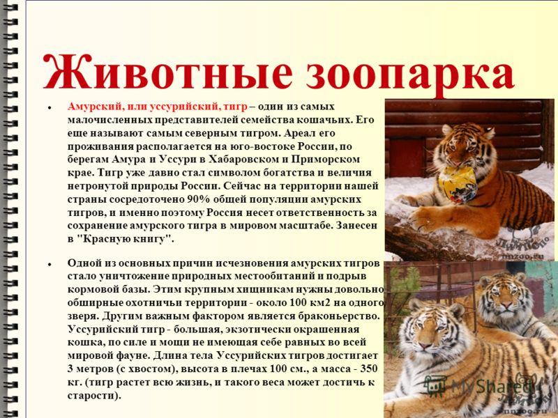 Животные зоопарка Амурский, или уссурийский, тигр – один из самых малочисленных представителей семейства кошачьих. Его еще называют самым северным тигром. Ареал его проживания располагается на юго-востоке России, по берегам Амура и Уссури в Хабаровск