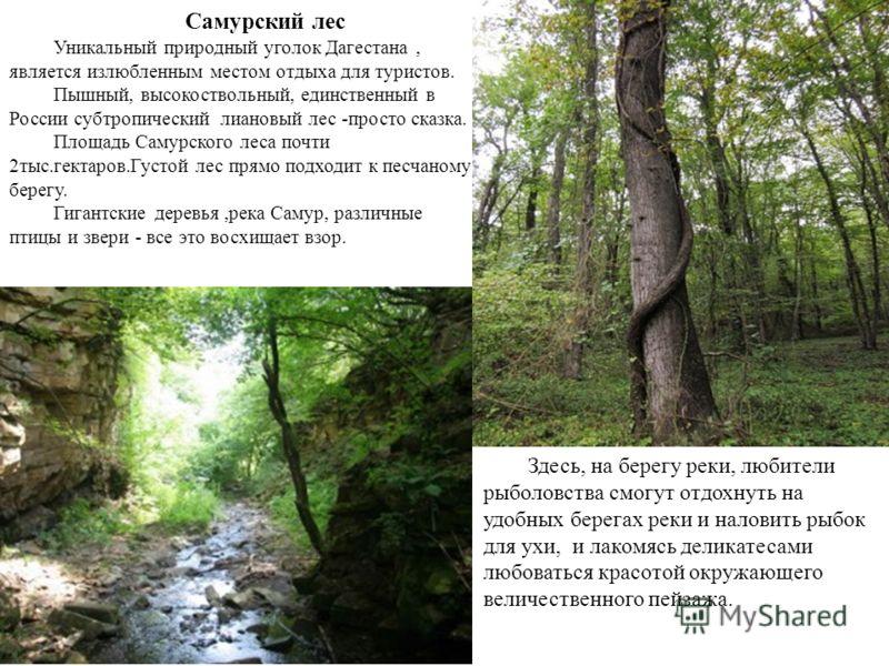 Самурский лес Уникальный природный уголок Дагестана, является излюбленным местом отдыха для туристов. Пышный, высокоствольный, единственный в России субтропический лиановый лес -просто сказка. Площадь Самурского леса почти 2тыс.гектаров.Густой лес пр