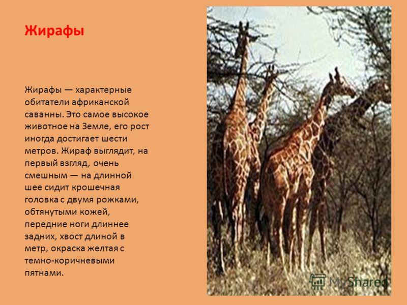 Жирафы Жирафы характерные обитатели африканской саванны. Это самое высокое животное на Земле, его рост иногда достигает шести метров. Жираф выглядит, на первый взгляд, очень смешным на длинной шее сидит крошечная головка с двумя рожками, обтянутыми к