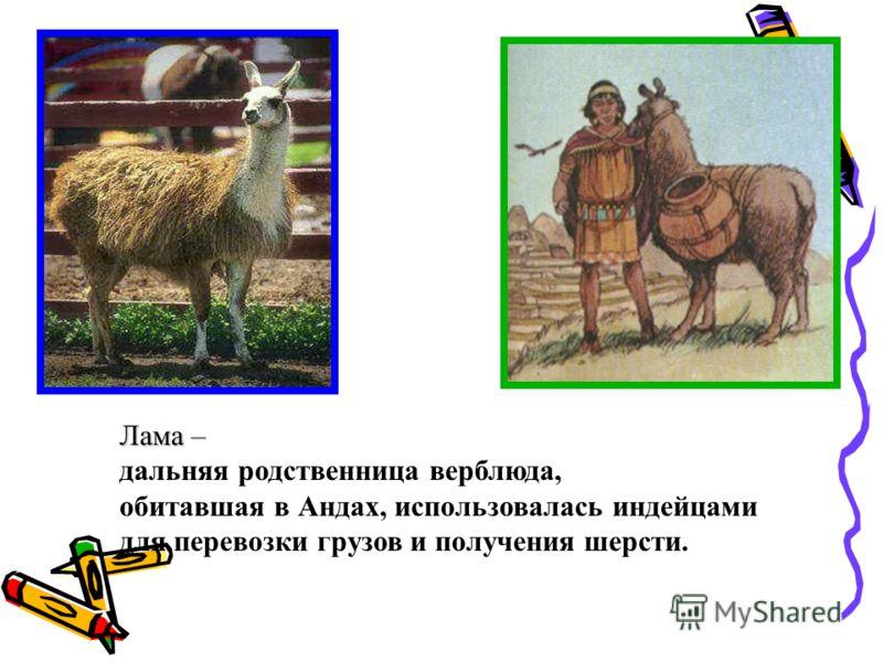 Лама – Лама – дальняя родственница верблюда, обитавшая в Андах, использовалась индейцами для перевозки грузов и получения шерсти.