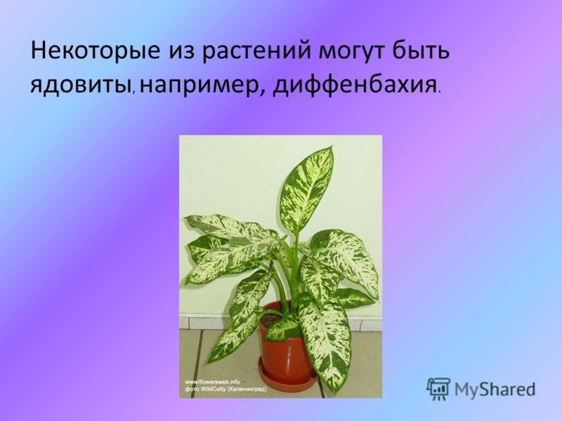Некоторые из растений могут быть ядовиты, например, диффенбахия.