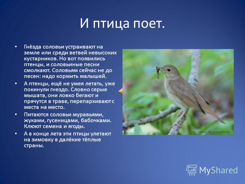 И птица поет. Гнёзда соловьи устраивают на земле или среди ветвей невысоких кустарников. Но вот появились птенцы, и соловьиные песни смолкают. Соловьям сейчас не до песен: надо кормить малышей. А птенцы, ещё не умея летать, уже покинули гнездо. Словн