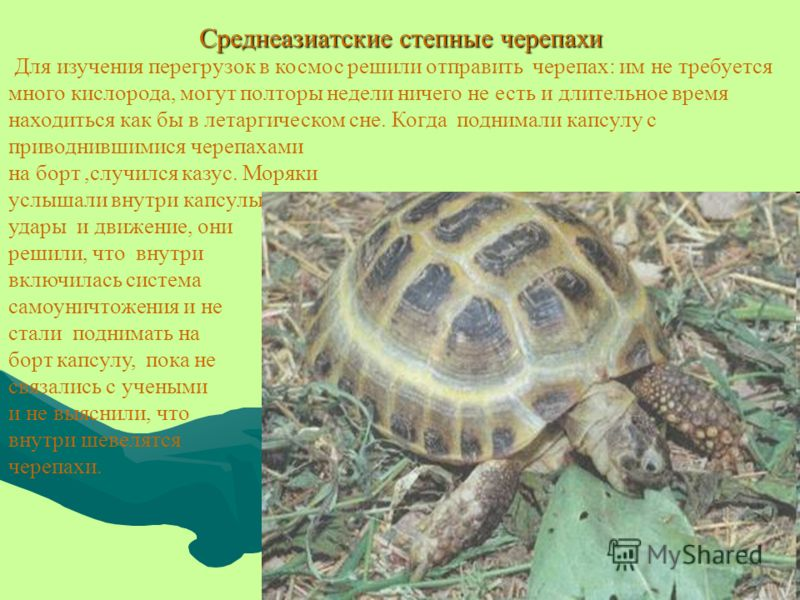 Среднеазиатские степные черепахи Для изучения перегрузок в космос решили отправить черепах: им не требуется много кислорода, могут полторы недели ничего не есть и длительное время находиться как бы в летаргическом сне. Когда поднимали капсулу с приво