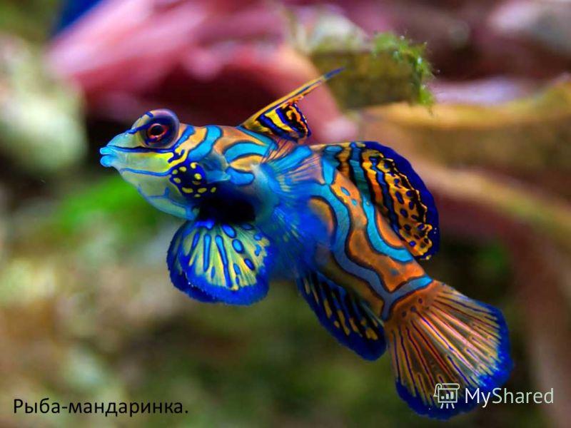 Рыба-мандаринка.